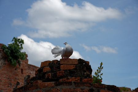A beautiful white pigeon with gloriously posture on the top of ruined pillar 5. Stock Photo