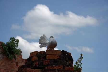 A beautiful white pigeon with gloriously posture on the top of ruined pillar 6.