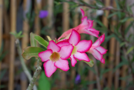 impala lily