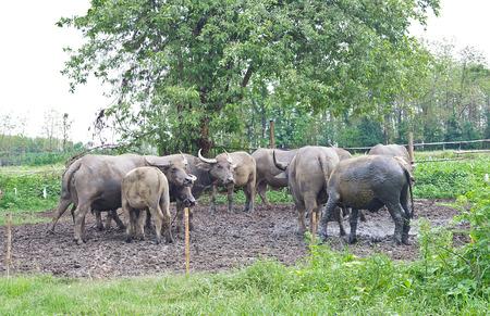 indian buffalo: herd of water buffalo