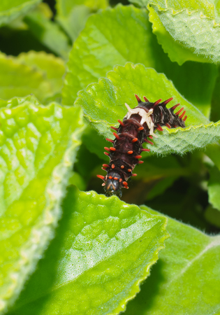 larva of butterfly in nature