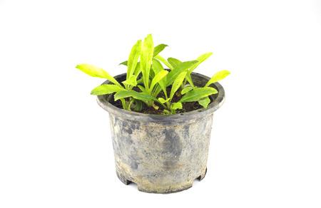 frizzy: frizzy parsley in nursery pot Stock Photo