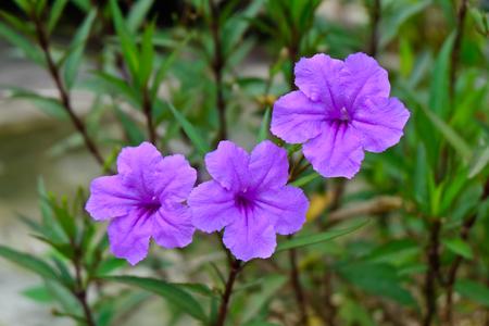 wide petunia Stock Photo