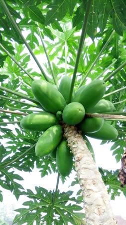 delicious papaya fruit in tree