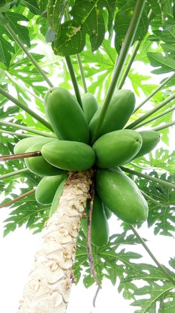 delicious papaya fruit in tree