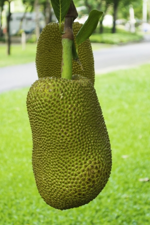 Jackfruit hanging photo