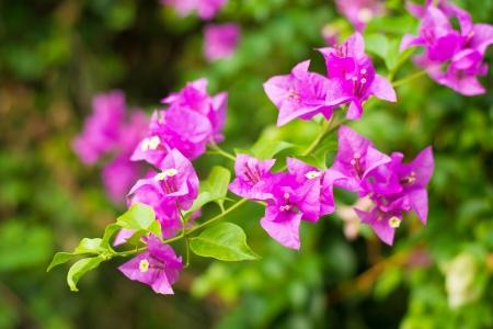 bougainvilleas: Pink blooming bougainvilleas.