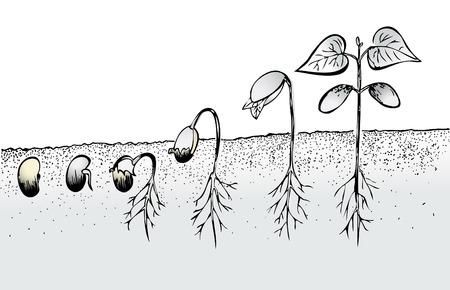 germinación: Frijol germinación de las semillas aisladas en blanco