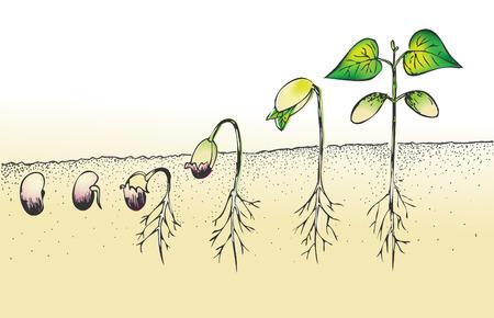 pflanzen: Bohnen Samenkeimung isoliert auf weiß