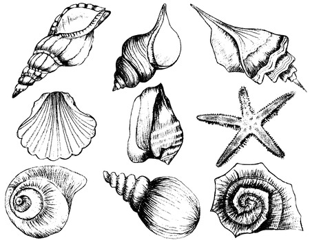 seashell: Hand drawn collection of various seashell illustrations isolated on white background