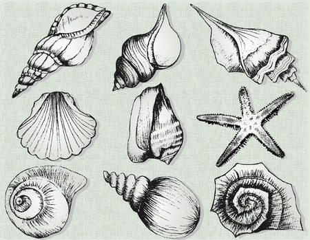cockle: Hand drawn collection of various seashell illustrations isolated on  background