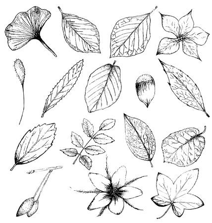 rowan tree: Collection of hand drawn plants Illustration
