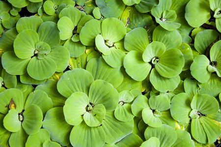 Background with leaves of green water fern, mosquito fern close up floating in a garden pond