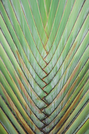 Petiole pattern of Traveller's Palm