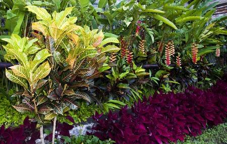 hojas de colores: Plantas Croton con hojas de colores en el jard�n tropical Foto de archivo