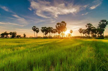 champ de mais: champ de ma�s et le sucre de palme Banque d'images