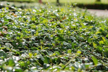 plentifully: green bush small leaf
