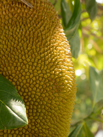 savour: young jack fruit tree in garden. local Asia fruit has good smell and sweet taste. Stock Photo