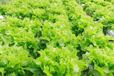 水土壌なしでのミネラル栄養解決を使用して植物を育てる水耕栽培法。クローズ アップ手水耕栽培植物を植えること 写真素材