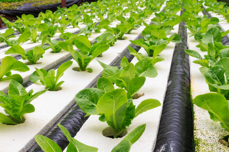 水土壌なしでのミネラル栄養解決を使用して植物を育てる水耕栽培法。クローズ アップ手水耕栽培植物を植えること 写真素材 - 36069164