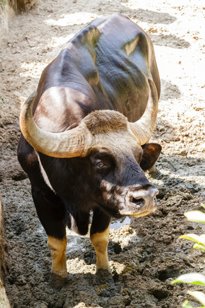 Gaur or indian bison in the Zoo