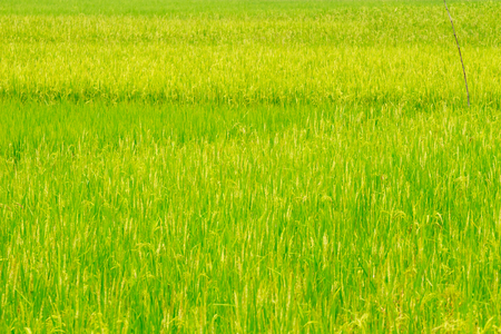 Green ear of rice in paddy rice field. Imagens