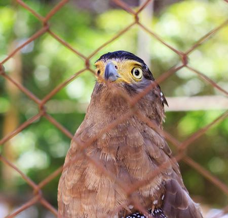A bald eagle (Haliaeetus leucocephalus) in a cage..