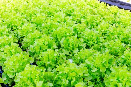 土壌なしで、水の中で、ミネラル栄養溶液を使用して植物を成長させる水耕栽培方法。クローズアップ植え手水耕栽培植物