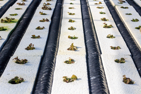 Hydroponics method of growing plants using mineral nutrient solutions, in water, without soil. Close up planting hand Hydroponics plant
