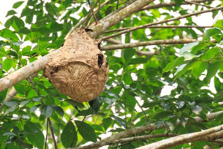 Gniazdo osy na drzewie. Zdjęcie Seryjne