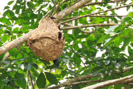 Wasp nest on the tree. Reklamní fotografie - 91355730