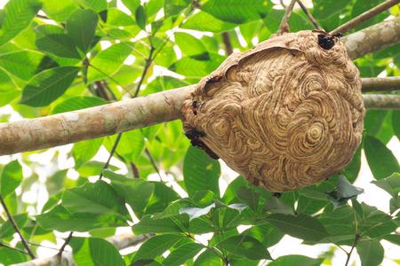 Wasp nest op de boom.