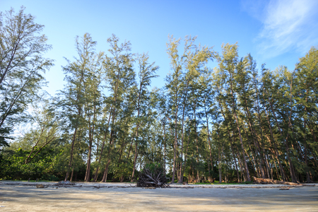 Pine forest on blue sky from anteye view