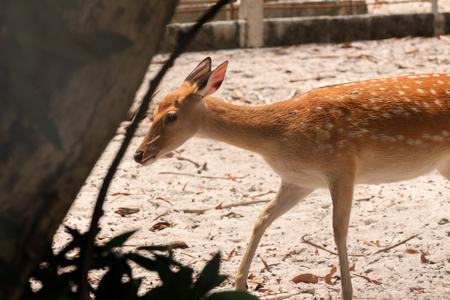 A beautiful spotted Chital (axis axis) deer in a zoo in Thailand.