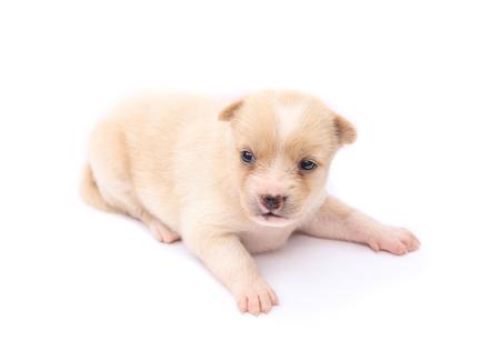 Puppy dog isolated on white background.