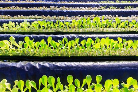 水、土壌で、ミネラルの栄養解決を使用して植物を育てる水耕栽培法。クローズ アップ手水耕栽培植物を植える 写真素材 - 91331695