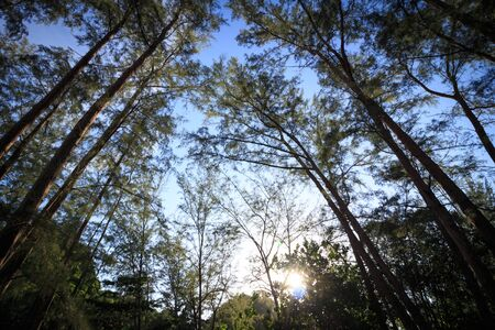 Pine forest on blue sky from anteye view. Imagens