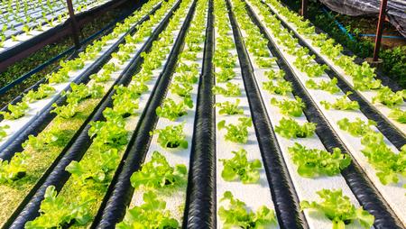 水、土壌で、ミネラルの栄養解決を使用して植物を育てる水耕栽培法。クローズ アップ手水耕栽培植物を植える