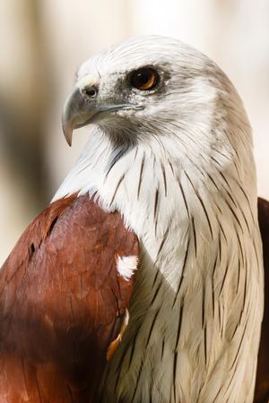 Portrait of a bald eagle (lat. haliaeetus leucocephalus).