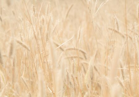 wind blown hair: Golden grass flower (Feather Grass) with sunlight, Warm Tone Stock Photo
