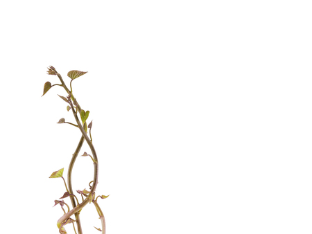 devious: Fresh devious sapling isolate on white background,