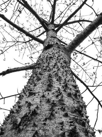 thorny: Giant tree with thorny trunk (Bombax ceiba L.)