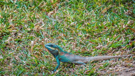 cold blooded: Green head lizard and white striped looking for something on grass land Stock Photo