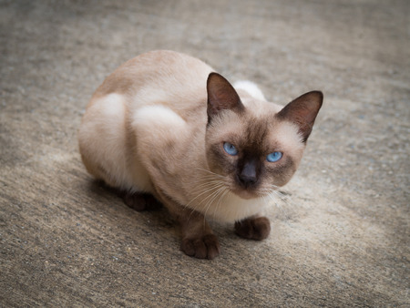 blue siamese cat: Thai famous cat (Siamese Cat, Moon Diamond, Seal Point) in dark and light brown hair and blue eyes looking and warily on floor Stock Photo