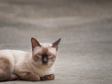 blue siamese cat: Thai famous cat (Siamese Cat, Moon Diamond, Seal Point) in dark and light brown hair and blue eyes lying and relaxing on floor with copy space