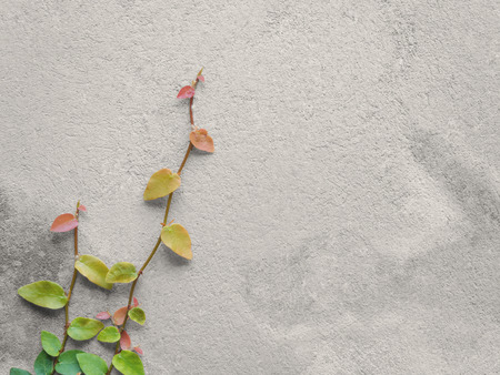 creeping fig: Colorful Ficus Pumila (MORACEAE) vines climbing on gray cement wall with copy space, Black & White Photo with Partial Color Effect Stock Photo