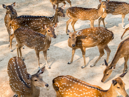 axis deer: Group of spotted deer, chital, cheetal or Axis deer (Axis axis) in natural habitat