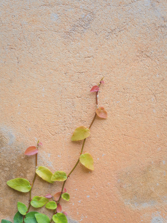Colorful Ficus Pumila (MORACEAE) vines climbing on orange cement wall with copy space, Vertical Stock Photo