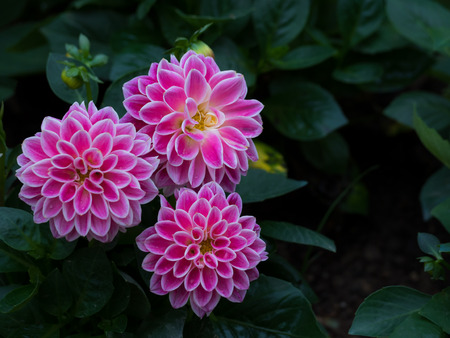 asterids: Pink Dahlia Figaro flower in garden with copy space, Low key Tone