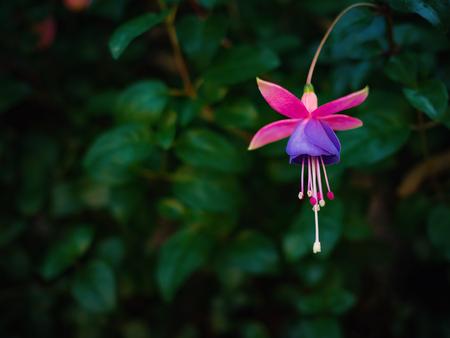 Fuchsia flower in dark leafs background with copy space, Low key tone